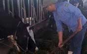 Bỏ công việc ổn định ở phố về quê nuôi bò sữa, lãi gần 1 tỷ/năm