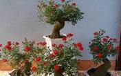 Trồng cây hồng cổ trong nhà có ý nghĩa gì trong phong thủy?
