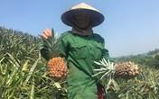 Dứa 2.000 đồng/kg, nông dân để thối đầy đồng