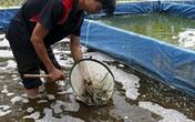 Kỹ sư thủy sản về quê nuôi cá chạch lấu, mỗi năm thu 600 triệu