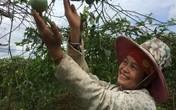 Chị nông dân lãi nửa tỷ đồng/năm nhờ trồng chanh leo