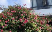 Những cây hồng nghìn nụ giá trăm triệu đồng