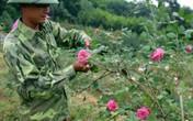 Đánh liều trồng 3ha hồng cổ, anh nông dân Thái Nguyên kiếm bộn tiền