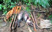 Nghệ An: Bắt nhóm thợ săn giết vọoc xám quý hiếm