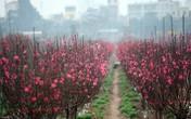 Chùm ảnh: Choáng ngợp với sắc đỏ rực của vựa đào Nhật Tân dịp sát Tết