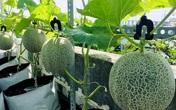 Vườn dưa sân thượng trĩu quả của Vợ chồng trẻ ở TP.HCM
