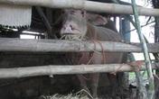 Dân khiếp vía vì 4 con trâu điên húc 15 người bị thương