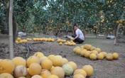 Sát Tết, dân trồng bưởi trắng đêm chống trộm