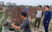 Vườn đào đẹp nhất Đông Anh (Hà Nội): Chủ vườn thu về vài trăm triệu tiền đào Tết sau vài ngày mở bán