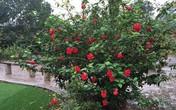 """Khu vườn rộng cả nghìn mét vuông rợp bóng hoa của nam diễn viên """"Người phán xử"""""""