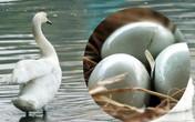 Người Thủ đô thích thú trước việc đàn thiên nga ở hồ Thiền Quang đẻ trứng sau 1 năm