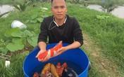 Kỹ sư bỏ lương cao về quê nuôi quốc ngư Nhật Bản