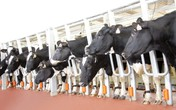 TH khởi công xây dựng cụm trang trại bò sữa công nghệ cao tại Thanh Hóa