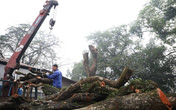 Thông tin mới nhất về số gỗ quý thu được sau khi chặt hạ 2 cây sưa từng được trả giá trăm tỷ ở Hà Nội