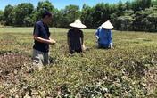 Nghệ An: Một người tử vong khi thức suốt đêm cứu chè vì nắng hạn