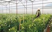 Bỏ rau trồng hoa cát tường công nghệ cao, thu nhập tăng gấp 5 lần