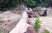 Đi mò ốc, hai nông dân ở Hà Tĩnh phát hiện cây gỗ quý trăm tuổi