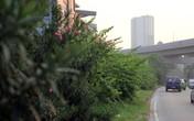 Cỏ mọc um tùm, nhếch nhác dưới đường sắt Cát Linh - Hà Đông