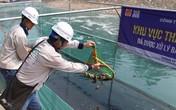 Hàng trăm con cá chép Nhật Bản bơi tung tăng, sống khỏe dưới sông Tô Lịch