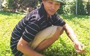 Kiếm bộn tiền nhờ trồng rau má trên bờ ao tôm