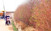 Thời tiết thuận lợi, nông dân Nhật Tân vui mừng khi đào sẽ nở đúng dịp Tết