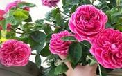 Mua hồng trồng sẵn về, nếu muốn cây không chết và tiếp tục cho hoa thì không nên bỏ qua các bước cơ bản này