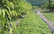 Bỏ túi hàng chục triệu mỗi tháng nhờ rau rừng