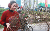 Đào Nhật Tân nở sớm bất ngờ xuống phố giữa ngày Hà Nội lạnh giá