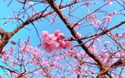 Sao phải đi Nhật Bản khi hoa anh đào đang nở rộ tại Sa Pa?