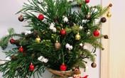 """Thông tươi """"cháy hàng"""" dịp Giáng sinh"""