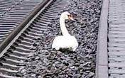 20 chuyến tàu bị hủy vì thiên nga nằm trên đường ray