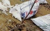 Hàng chục bao tải gà chết đang phân huỷ vứt dọc bờ biển