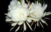 Thâm cung bí sử (223 - 3): Tái hiện hoa quỳnh