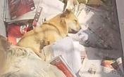 Chó không chịu ăn uống sau khi chủ qua đời