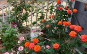 Mê hoa hồng, cô gái trẻ xứ Huế quyết tâm thức khuya dậy sớm tạo cả khu vườn hồng rực rỡ trên sân thượng