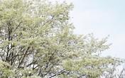 Cận cảnh những gốc hoa sưa nở trắng muốt đẹp mê mẩn giữa Hà Nội