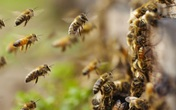 Hi Hữu: Người đàn ông 40 tuổi bị 100 con ong đốt khắp cơ thể