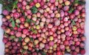 """Mận hậu đầu mùa giá chát không tưởng tượng nổi vẫn """"cháy hàng"""" mặc các loại hoa quả khác rớt giá thê thảm"""