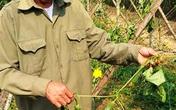 Nghệ An: Người thương binh bị phá vườn mướp gần đến ngày thu hoạch