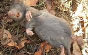 Chuột trướng bụng mà chết vì 1 củ khoai tây