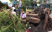 Học sinh tử vong vì cây đổ trong sân trường, trách nhiệm bồi thường thuộc về ai?