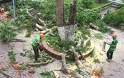 """Không có chuyện """"tàn sát"""" phượng ở thành phố hoa phượng đỏ Hải Phòng sau vụ cây đổ làm chết học sinh tại TP.HCM"""