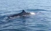 Cá voi xuất hiện ở biển Cù Lao Chàm