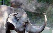 Vườn thú Ba Lan cho voi dùng cần sa để giảm căng thẳng
