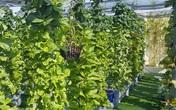 Khu vườn thẳng đứng xanh mướt rau sạch trên nóc chung cư ở TP. HCM