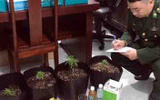 Phát hiện thanh niên trồng cần sa trong nhà