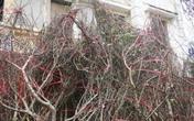 Phó Thủ tướng Trịnh Đình Dũng: Nghiên cứu kỹ lưỡng phương án truy xuất nguồn gốc cây đào, cây mai