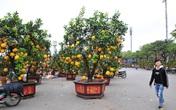 Cận cảnh bưởi bonsai khủng có giá hàng chục triệu đồng