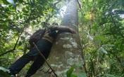 Khu rừng lim đặc biệt ở Nghệ An