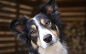 Chú chó bất ngờ thành triệu phú